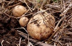Den över huvudet närbildsikten av nytt grävde nya vita guld- potatisar av olika format i ett hem arbeta i trädgården Arkivbild