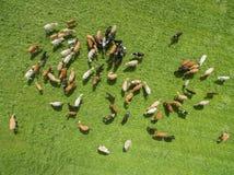 Den Aaerial sikten av kor i en flock på en gräsplan betar med blå himmel i sommar Arkivfoton