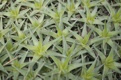 Abromeitiella brevifolia Royaltyfria Foton