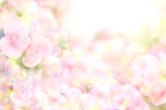 Den abstrakta mjuka söta rosa färgblommabakgrunden från begonia blommar Royaltyfri Fotografi