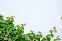 Den abstrakta naturbakgrundscopyspacen av den gröna rankaväxten Arkivfoton