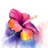 Den abstrakta vattenfärgen som målar den röda hibiskusblomman på blått, färgar bakgrund
