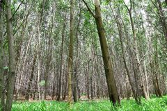 Den AcaciaauriculiformisCunn skogen Royaltyfria Bilder