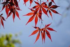 Den Acer palmatumen som gemensamt är bekant som palmate lönn, japansk lönn eller slät Japan-lönn, är art av infödingen för den tr royaltyfri fotografi