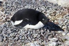 Den Adelie pingvinet kläcker kopplingen i kolonivår Arkivbilder