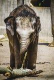 Den Afrika safari, behandla som ett barn elefanten som spelar med en journal av trä Arkivfoto