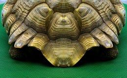 Den afrikan sporrade sköldpaddan Royaltyfri Bild
