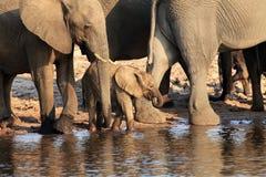 Den afrikanska africanaen för buskeelefantLoxodonta som en flock av elefanter med behandla som ett barn Arkivbilder