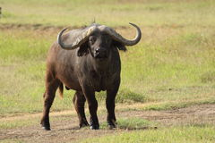 Den afrikanska buffeltjuren stirrar framåt i den Ngorongoro krater Arkivbilder