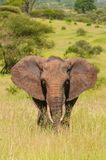 Den afrikanska buskeelefanten royaltyfria foton
