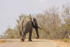 Den afrikanska buskeelefanten som går på vägen, i Kruger, parkerar, Sydafrika Royaltyfri Fotografi