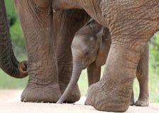 Den afrikanska elefanten behandla som ett barn och mamman royaltyfri fotografi