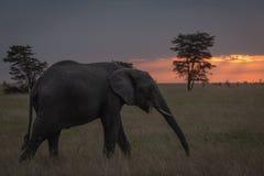 Den afrikanska elefanten går på solnedgången som tuggar filialen royaltyfria foton