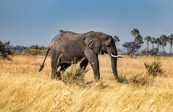 Den afrikanska elefanten går till och med gräs i den Okavango deltan royaltyfri fotografi