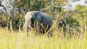 Den afrikanska elefanten går till och med gräset i privat modig reserv för Pom-Pomön i den Okavango deltan, Botswana, Afrika Arkivfoto
