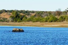 Den afrikanska elefanten går till och med vattnet av den Chobe floden i det Serondela området av den Chobe nationalparken, Botswa Arkivbild