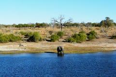 Den afrikanska elefanten går till och med vattnet av den Chobe floden i det Serondela området av den Chobe nationalparken, Botswa Arkivfoton
