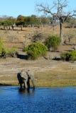 Den afrikanska elefanten går till och med vattnet av den Chobe floden i det Serondela området av den Chobe nationalparken, Botswa Royaltyfri Foto