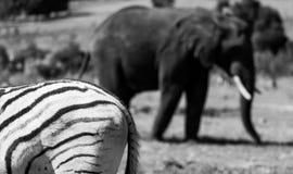 Den afrikanska elefanten med sebran i förgrund som fotograferas på den Knysna elefanten, parkerar, Sydafrika arkivfoton