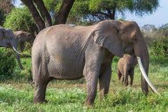 Den afrikanska elefanten med varierar långa beten Kenya Afrika Royaltyfri Fotografi
