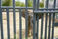 Den afrikanska elefanten tycker om hans nya hem på Tianshan djurliv parkerar i Urumqi arkivbild