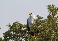 Den afrikanska fiskörnen på ett träd på den ISimangaliso våtmarken parkerar royaltyfria foton