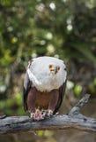 Den afrikanska fisken Eagle (Haliaeetusvocifer) Royaltyfri Fotografi