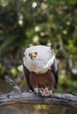 Den afrikanska fisken Eagle (Haliaeetusvocifer) Royaltyfri Bild