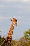 den afrikanska giraffet tystar ned Arkivfoton