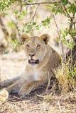 Den afrikanska lejoninnan vilar i skuggan royaltyfria foton