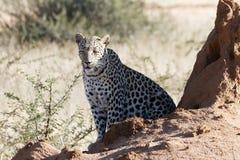 Den afrikanska leoparden tycker om värme av ottasolen på framsida, medan sitta nära termitkullen på den Okonjima naturreserven, N arkivfoto