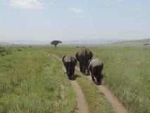 Den afrikanska moderelefanten med behandla som ett barn elefanter i den Serengeti nationalparken, Tanzania royaltyfri bild