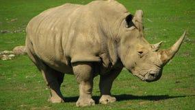 Den afrikanska noshörningen ser som en dinosaurie Arkivfoto