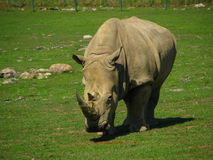 Den afrikanska noshörningen ser som en dinosaurie Arkivbilder