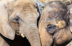 Den afrikanska och indiska elefanten heads ståenden Royaltyfri Fotografi