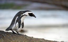 Den afrikanska pingvinet går ut ur havet Royaltyfria Bilder