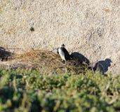 Den afrikanska pingvinet (Spheniscusdemersus) behandla som ett barn pingvinet, västra udde, Sydafrika Royaltyfri Bild