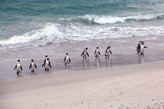 Den afrikanska pingvingruppen som dyker upp från havstenblocken, sätter på land i Cape Town Arkivfoto