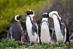 Den afrikanska pingvinSpheniscusdemersusen på stenblock sätter på land nära Cape Town Sydafrika arkivfoton