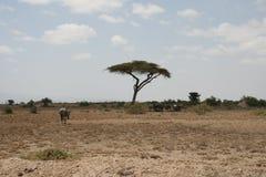 Den afrikanska savannahen, Amboseli, bredvid Mt kilimanjaro Arkivfoto