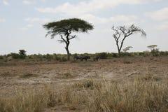Den afrikanska savannahen, Amboseli, bredvid Mt kilimanjaro Royaltyfri Foto