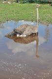 Den afrikanska strutsen badas i en pöl Royaltyfri Fotografi