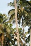 Den afrikanska svarta mannen klättrar palmträdet. Arkivbilder