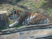 Den afrikanska tigern är en gjord randig rov- katt från katten och royaltyfria bilder