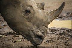 Den afrikanska vita noshörningen parkerar in Fotografering för Bildbyråer