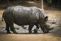 Den afrikanska vita noshörningen parkerar in Arkivbilder