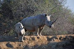 Den afrikanska vita noshörningmodern och behandla som ett barn Arkivfoto