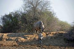 Den afrikanska vita noshörningmodern och behandla som ett barn Arkivbild