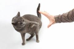Den aggressiva gråa katten sträckte ut en tafsa med jordluckrare på människan royaltyfria bilder