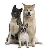 den akita bulldoggen dogs fransk inusitting Royaltyfria Foton